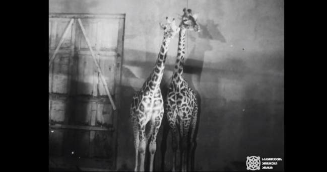 ბობი და ნე - ჟირაფები თბილისის ზოოპარკში (ვიდეო)