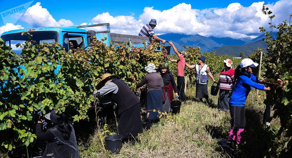 კახეთის რეგიონში რთველის შედეგად ამ დროისთვის 60 ათას ტონაზე მეტი ყურძენია გადამუშავებული, მოსახლეობის მიერ მიღებულმა შემოსავალმა კი 110 მილიონ ლარს მიაღწია
