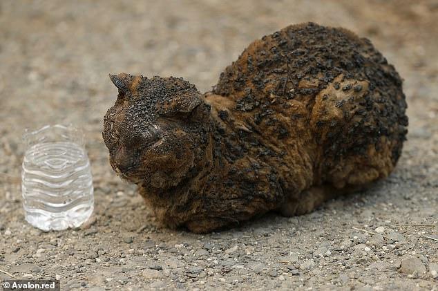 კალიფორნიაში ცეცხლის შედეგად დაშავებული ცხოველები (ფოტოები)