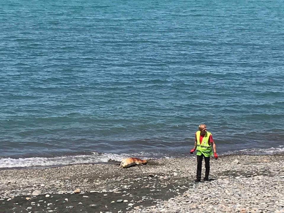 ბათუმში ზღვამ მკვდარი დელფინი გამორიყა