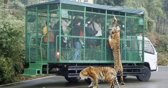 ჩინეთში ზოოპარკი დამთვალიერებლებს გალიებში სვამს, ცხოველებს კი ათავისუფლებს