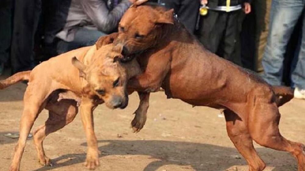 ცხოველთა ორთაბრძოლების ორგანიზება და პროპაგანდა დაისჯება ჯარიმით ან თავისუფლების აღკვეთით ვადით ორიდან სამ წლამდე