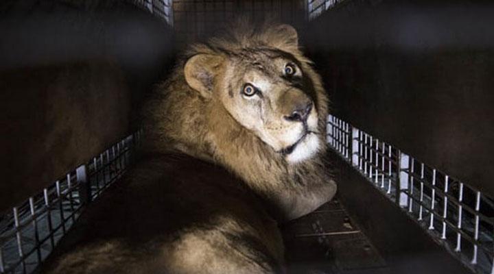 იტალიაში ცირკებში და ბაზრობებზე ცხოველების სანახაობები აიკრძალება