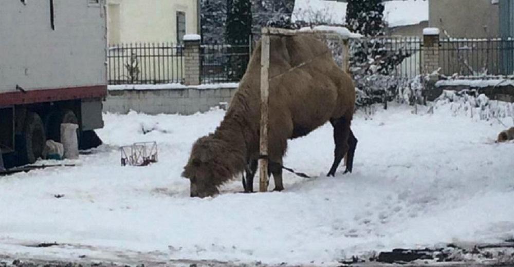 ქართულ ცირკს გასტროლების შემდეგ უკრაინაში აქლემი დარჩა